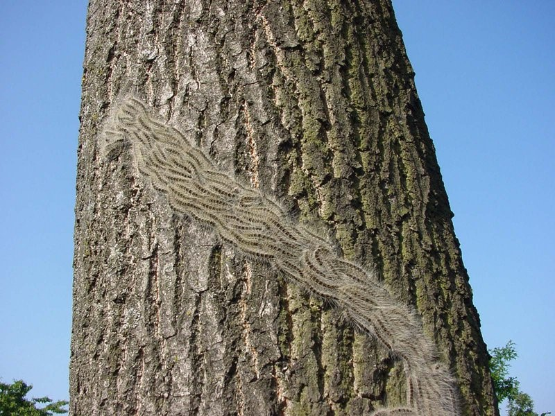 The Oak Processionary moth is back, not far from Chorleywood